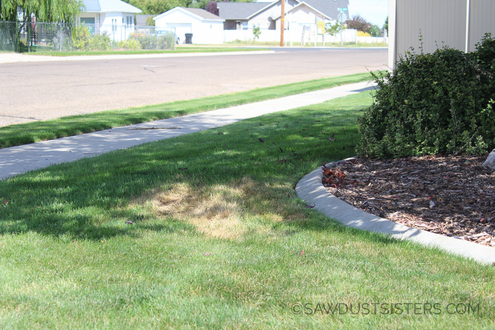 Let me show you how I took care of the brown spots on my lawn with grass paint!